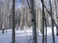 An aspen grove, trees gone dormant for the approaching Winter, in Comanche Gulch