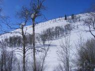 Bare aspen on a hillside, Willow Crek