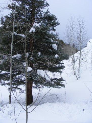 Conifer on Willow Creek