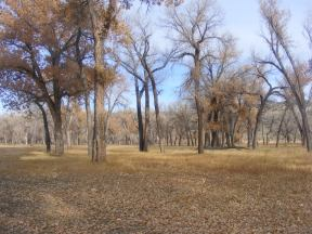 Convivial cottonwood forest in Dinosaur National Monument, adjacent to the Yampa River at Deerlodge Park Campground