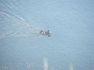 Possibly an American wigeon on the Bighorn River near the Swinging Bridge