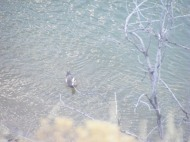 Another view of a purported American wigeon, Bighorn River, Hot Springs State Park