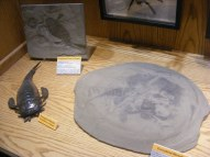Eurypterids galore, including a plate of death, at the Wyoming Dinosaur Center in Thermopolis, Wyoming