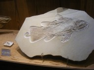 Large fossil fish at the Wyoming Dinosaur Center in Thermopolis, Wyoming