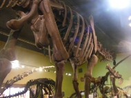 Under a huge sauropod at the Wyoming Dinosaur Center in Thermopolis, Wyoming
