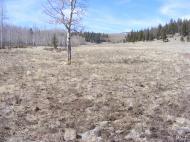 Lone aspen in Indian Park