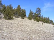 A grassy slope with ponderosa