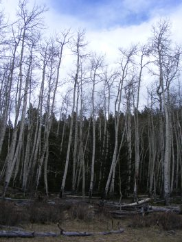 Aspen three to four weeks from leafing out, in the Cochetopa Hills