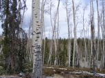 Hiking in the Cochetopa Hills through an aspen forest