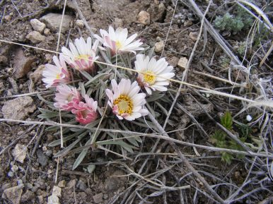 Townsendia spp. in Big Dry Gulch