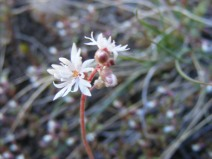 Close up of the Woodland Star, part of the Saxifrage Family