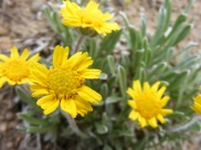A member of Asteraceae in the northern San Luis Valley