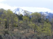 Snow-clad Sangre de Cristo Mountains above newly green aspen