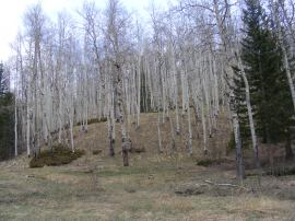 The snow is gone from this aspen forest but not much green