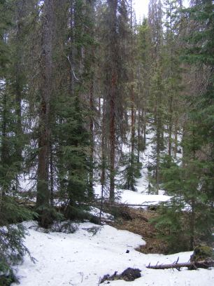 Snowy patches in the forest about Rio Grande National Forest Road 990