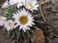 Delicate Asteraceae, a Townsendia spp. in the northern San Luis Valley