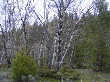 Spindly aspen grove north of old Poncha Pass