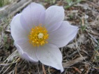 Part of Ranunculaceae, this Pasque Flower stands out in Spring when not much else is colorful