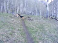 Leah and Draco exploring an aspen grove on the Walrod Gulch Cutoff No. 418 Trail
