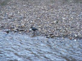 An American dipper, a bird that can walk on the creek bed underwater