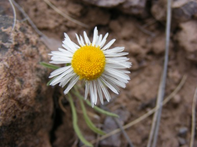 An Aster Family member on the Dillon Pinnacles Trail