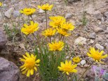 Yellow species of the Aster Family