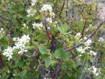Possibly a Serviceberry, on the Dillon Mesa Trail