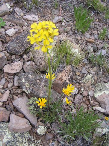 Wallflower growing above an Aster Family member
