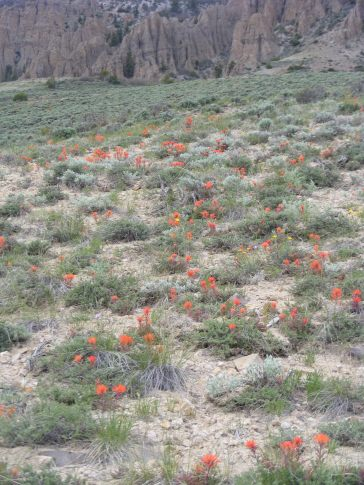 Sagebrush spangled with orange Paintbrush, on the trail to Dillon Pinnacles