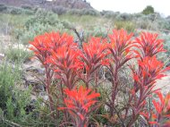 Orange Paintbrush on the Dillon Pinnacles Trail