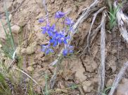 A Larkspur in the Buttercup Family