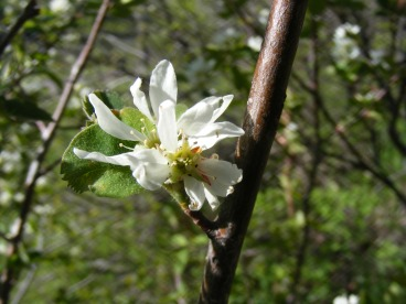Maybe a Serviceberry? Something in the Rose Family - Lee Creek