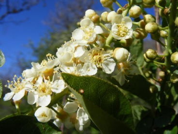 Chokecherry, part of the Rose Family, a sure sign of Spring