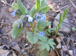 A Mertensia spp. in the Borage Family, on the Drift Creek Trail No. 815