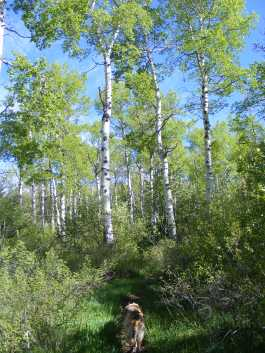 Cerulean sky, verdant aspen with white boles... Draco on the Drift Creek Trail No. 815 on a fine Spring's day