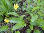 A yellow Violet on the Drift Creek Trail No. 815