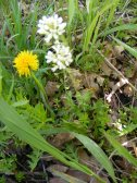 A Dandelion and a small Mustard Family flower