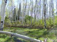 Aspen forest on Drift Creek