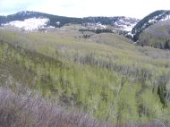 High up in Drift Creek, looking at Huntsman Ridge; aspen just leafed out and snow up high