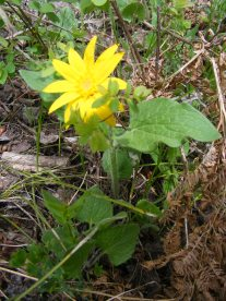 Arnica on Drift Creek