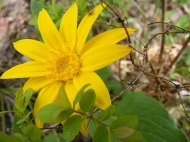 Arnica, a bright forest sunflower, on the Drift Creek Trail No. 815