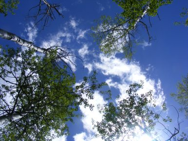 Looking up through the aspen canopy