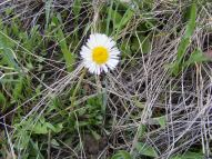 A daisy of some sort, on Drift Creek