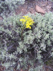 A good example of a Spring bloom growing in the sagebrush steppe of Cabin Creek, a Wallflower, I believe, in the Mustard Family