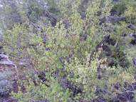 A shrub that seems to be a current or gooseberry, on Cabin Creek in the sagebrush steppe