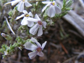 A flower of the sagebrush steppe, in the Phlox Family