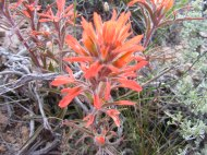 A Paintbrush in the Broomrape Family