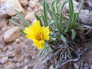 In the sagebrush steppe of Cabin Creek grows this yellow member of the Aster Family