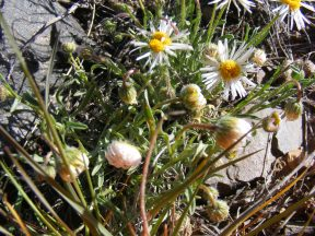 A lavender Aster Family plant, possibly Erigeron spp., on Cabin Creek in the sagebrush steppe