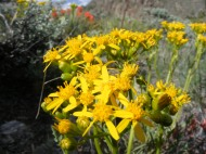 One of the many yellow Aster Family species found on the sagebrush steppe below the southeastern flank of Flat Top